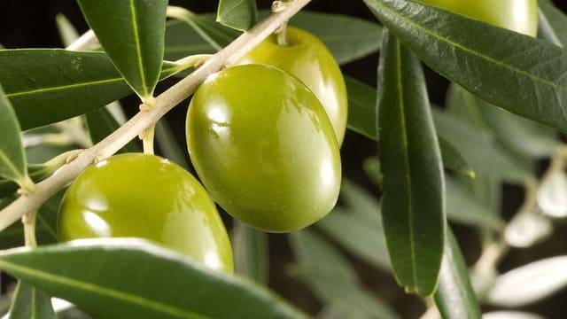 significados del color verde oliva