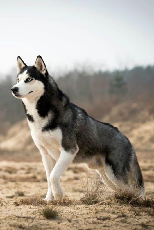 colores husky siberianos