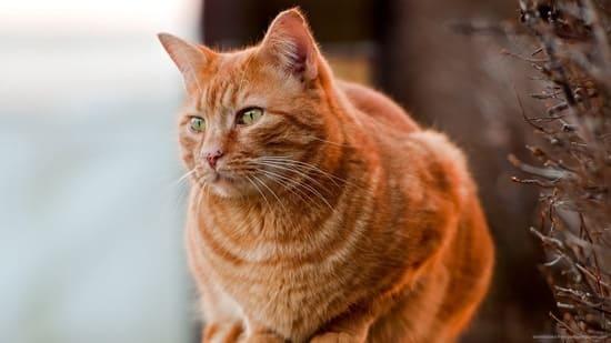 significado colores de los gatos