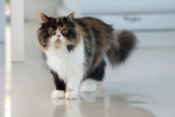 colores del gato persa