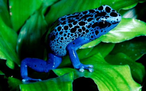 colores ranas punta de flecha